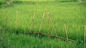 Rice fields with bamboo fence in Sa Pa valley. Rice fields and bamboo fences around them in Sa Pa Valley in Vietnam stock photos