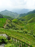 Rice fields and bamboos Stock Photography