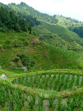 Rice fields and bamboos Stock Photos
