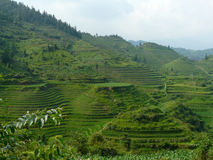 Rice fields and bamboos Stock Image