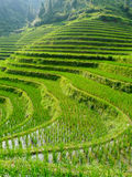 Rice fields and bamboos Royalty Free Stock Image