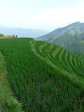 Rice fields and bamboos Stock Photo