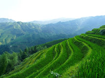 Rice fields and bamboos Royalty Free Stock Photos