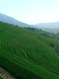 Rice fields and bamboos Royalty Free Stock Images