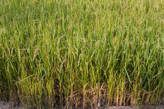 Rice fields. The beautiful landscape of rice fields in Thailand Royalty Free Stock Image