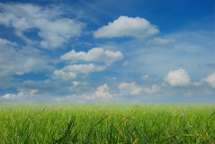 Rice fields in the blue sky Royalty Free Stock Image