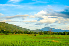 Rice fields and blue sky Stock Photos