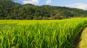 Rice fields with blue sky Royalty Free Stock Photos