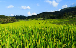 Rice fields with blue sky Stock Photos