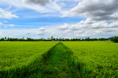 Rice fields and Blue Sky of Thailand. The Rice fields and Blue Sky of Thailand Royalty Free Stock Photos