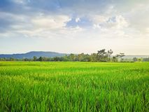 Rice fields. Rice fields and blusky background royalty free stock image