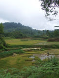 Rice fields and buffalo in Tana Toraja Sulawesi Stock Photo