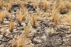 Rice fields burned after the harvest stock photo