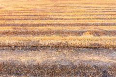Rice fields after burning of fire. Royalty Free Stock Images