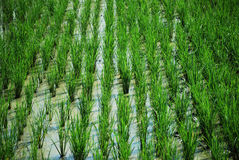 Rice fields Butuan Mindanao Philippines Stock Image