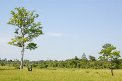 Rice fields, Cambodia Stock Photos