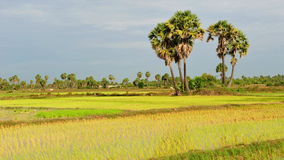 Rice fields in Cambodia Stock Photos