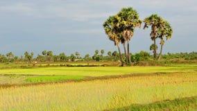 Rice fields in Cambodia Stock Photos