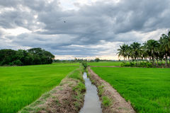 Rice fields with canal ditch Royalty Free Stock Photo