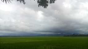 Rice fields. Caould in the rice fields stock photos