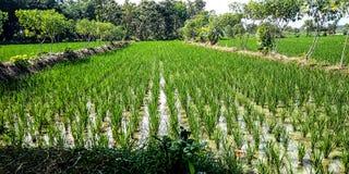 Rice fields with cassava plants beside them stock photos