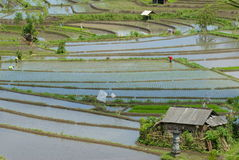 Rice fields in central bali Stock Photography