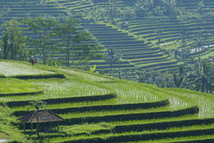 Rice fields in central Bali Royalty Free Stock Photography