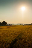 Rice fields in Chitwan, Nepal Royalty Free Stock Photography