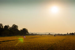 Rice fields in Chitwan, Nepal Royalty Free Stock Photo