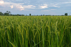 Rice fields close up cloudy sky Royalty Free Stock Photography