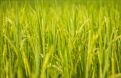 Rice fields. Close up of rice field with ears of paddies backgound Royalty Free Stock Images