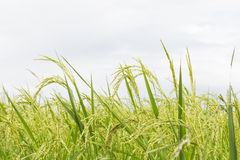 Rice fields close up Stock Image