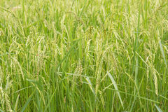 Rice fields close up Royalty Free Stock Images