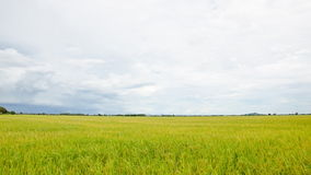 Rice fields and cloud. stock footage