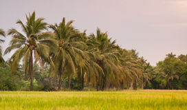 Rice fields,coconut trees Stock Photo