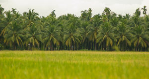 Rice fields,coconut trees Royalty Free Stock Photography