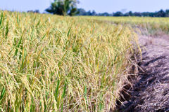 Rice fields color gold, landscape photo. Royalty Free Stock Photography