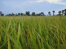 Rice fields in countrvside. Rice fields countrvside tree sky royalty free stock photos