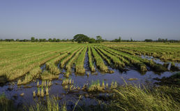 Rice fields. In the country after the harvest season stock photography