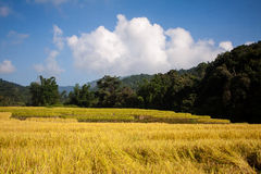 Rice fields in the countryside. Of Chaingmai Thailand stock photos