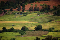Rice fields in the countryside Royalty Free Stock Image