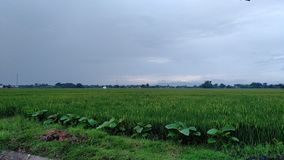 Rice fields in the countryside. Rice fields countryside pedesaan padi royalty free stock images