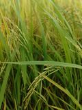 Rice fields in the countryside. Rice fields  countryside paddy harvest royalty free stock photos