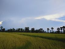 Rice fields in the countryside. Rice fields countryside sky tree stock images