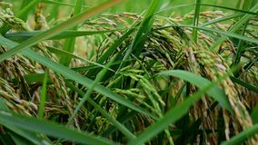 Rice fields in the countryside of Thailand stock video footage