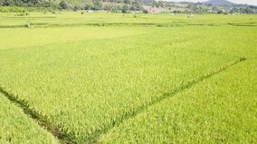 Rice fields in the countryside of Thailand. At sunset stock video