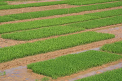 Rice fields are cultivated near Tam Coc (Vietnam) Royalty Free Stock Photos