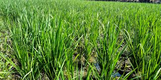 Rice fields with dry water stock photos