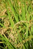 Rice Fields. Ear of Rice, Japanese rice field in the Japanese community in Yamaguchi City, Japan Stock Images
