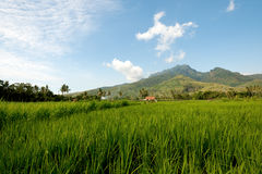 Rice Fields, East Java, Indonesia Royalty Free Stock Photo